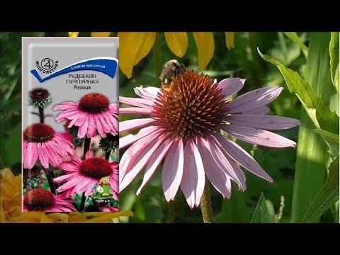 Рудбекия пурпурная.Выращивание из семян(Часть 2)