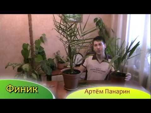 Финик - выращивание финиковой пальмы - Артём Панарин #финик #пальмадома
