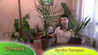Финик - выращивание финиковой пальмы - Артём Панарин(2013 г., 2013-02-25T11:38:07.000Z)