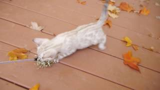 Rusty 8 weeks - Snow Spotted Boy Bengal Kitten サビイロネコ 検索動画 28