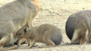 Maras werden gesäugt