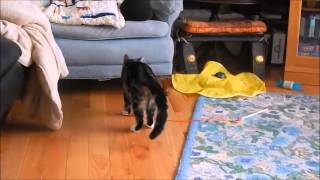 Cat fetches mouse on a string