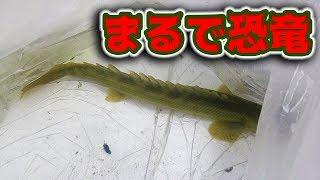 ガーよりでかい古代魚が3匹も来た!!!