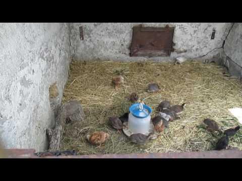цыплята.цесарки. загон на улице