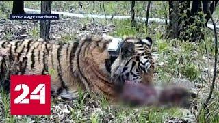 Новые детали убийства краснокнижного тигра Павлика - Россия 24