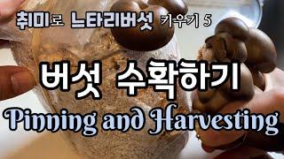 취미로 느타리버섯 키우기 5.  느타리버섯 수확하기/ …