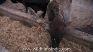 Cattle feed on fodder at dairy farm in Haryana