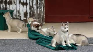 Siberian Husky Puppies For Sale Sarah Miller