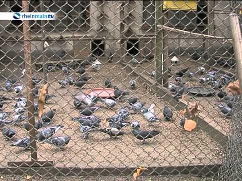 Tierliebhaber Kümmern Sich In Oberrad Um Tauben