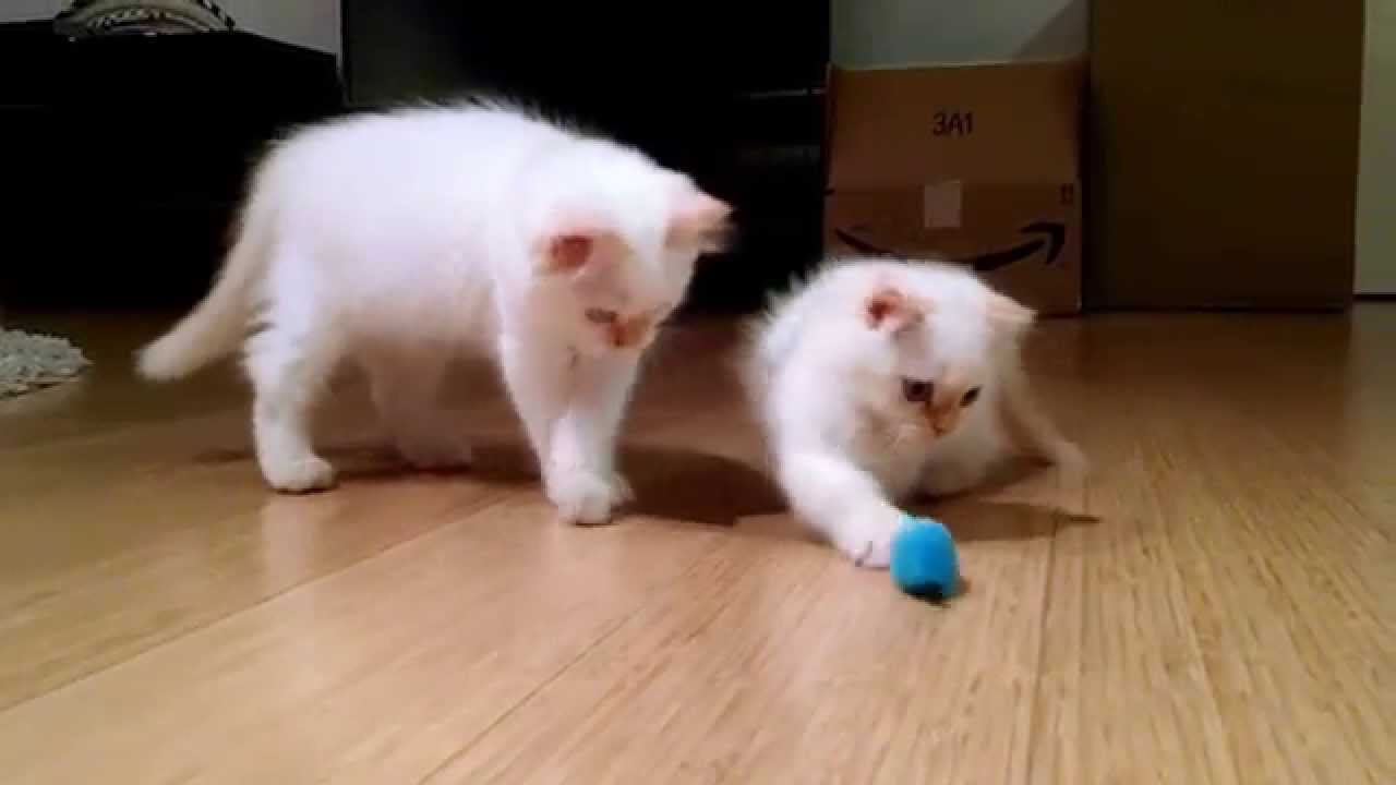 CUTEST Munchkin Kittens Playing with Mouse Toy - YouTube