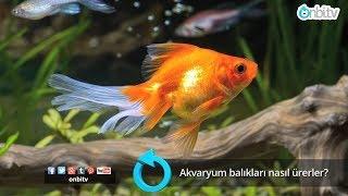 Akvaryum balıkları nasıl ürerler?
