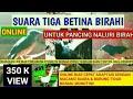 Pancingan Murai Kurang Birahi Jantan Dan Betina Pada Ternak Maupun Singgle Ngalas(.mp3 .mp4) Mp3 - Mp4 Download