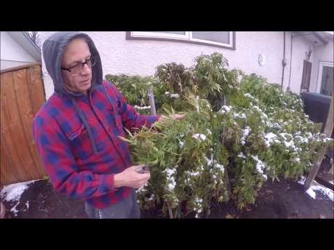 Cannabis  Seed Harvest