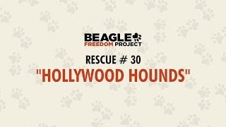 Beagle Freedom Project - 30th Rescue Hollywood Hounds
