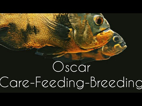 Oscar Fish-Care-Feeding-Breeding-தமிழ்|Eshwar Gandhi