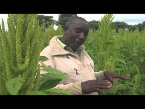 Improving Seed Production for African Indigenous Vegetable Farmers