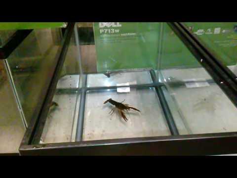 Procambarus 8 mg/L 7