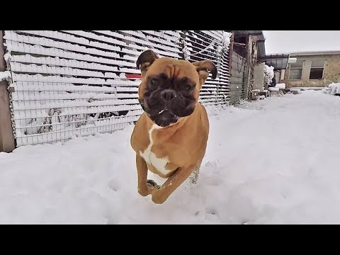 Boxer dog goes nuts when discovers snow for the first time 🐶