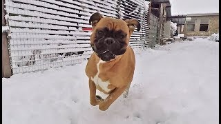 Boxer dog goes nuts when discovers snow for the first time ❄