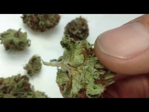 Tahoe OG Cali Connections Seeds Review - Medical Marijuana