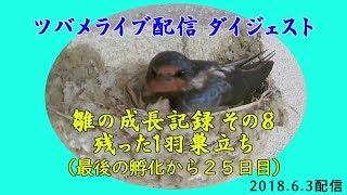 ライブ配信中の「ツバメの産卵から巣立ちまで」の一部をダイジェストと...