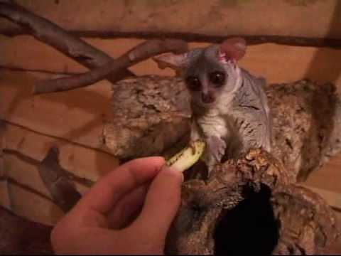 Senegal Bushbaby (Galago senegalensis) - YouTube