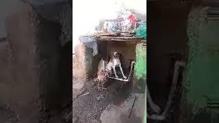 Драка петуха и собаки