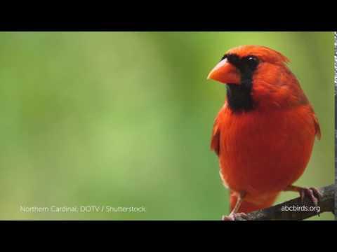 Northern Cardinal Angry Bird American Bird Conservancy