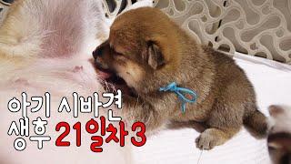 새끼 강아지 생후 21일차, 아기 시바견의 모습 3