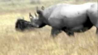 Black Rhinoceros on the run- Ngorongoro Crater Conservation Area, Tanzania
