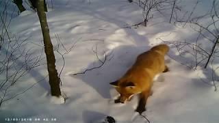 #2 Лиса, сороки и собака