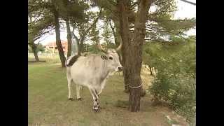 Uoči 24. Jakovlje: uzgoj istarskog vola gotovo neisplativ