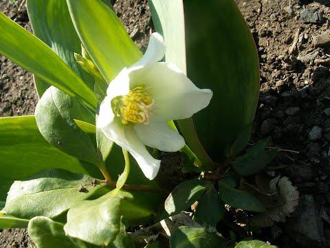 Морозники набирают силу роста и зацветают! 31 марта.