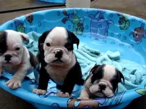English Bulldog Puppies For Sale In Ohio New Puppies On The Way 330 858 4488