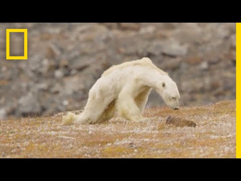 video de oso polar desnutrido es viral en youtube