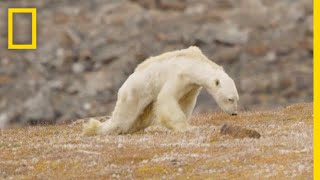 Heart-Wrenching Video: Starving Polar Bear on Iceless Land | National Geographic
