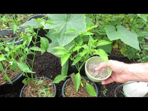 Cucumber Plant Maintenance: Nutrients, Disease and Pests - The Rusted Garden 2013