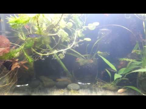 Treating Camallanus Worms In Guppy Fish With Fenbendazole
