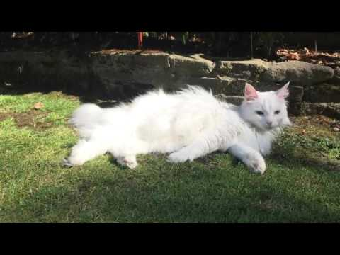 Norwegian Forest Cat - grooming session