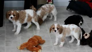 Cavalier King Charles Spaniel Mix Puppies For Sale Allen And Rosie Stoltzfus