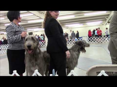 4-22-2017 Northwest Arkansas Kennel Club - Irish Wolfhounds