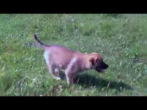 German Shepherd / Maremma & Great Pyrenees