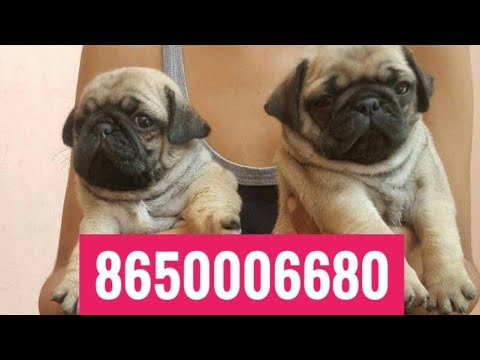 Pug Male and female puppies available .All breed puppies available in pure quality