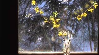 Edible Flowers:Forsythia