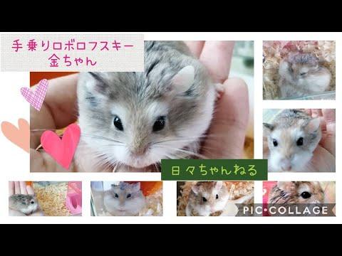 手乗りロボロフスキー金ちゃん【roborovski Hamster】