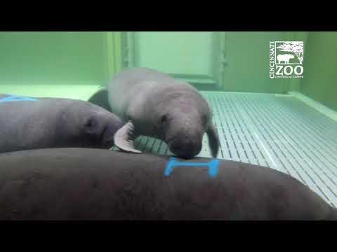 Manatee Rehab and the Cincinnati Zoo