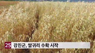 강진군, 쌀귀리 수확 …