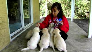 Puppy Training :proper Handling Of Young Puppies