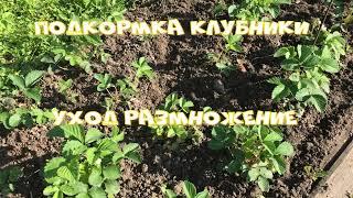 Уход за клубникой во время цветения Выращивание клубники