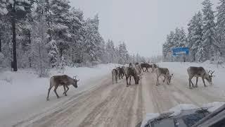 Северные олени лижут соль, которой обрабатываются дороги. Швеция. 17.12.2018